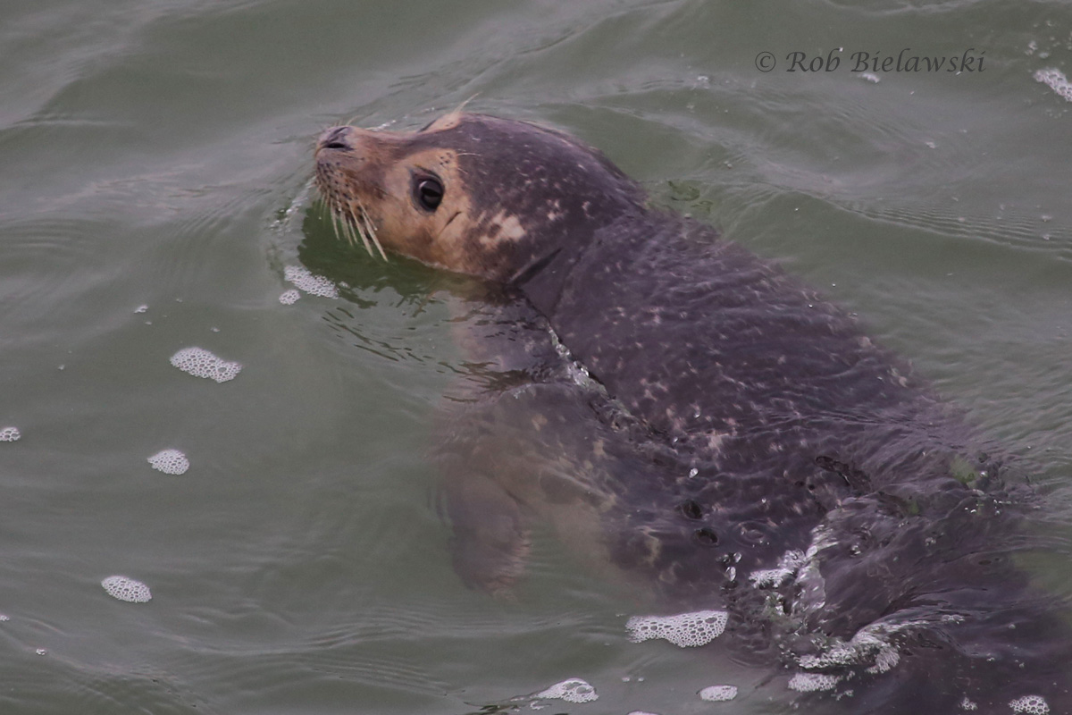 My best shot thus far of a Harbor Seal from the first island of the Chesapeake Bay Bridge-Tunnel!