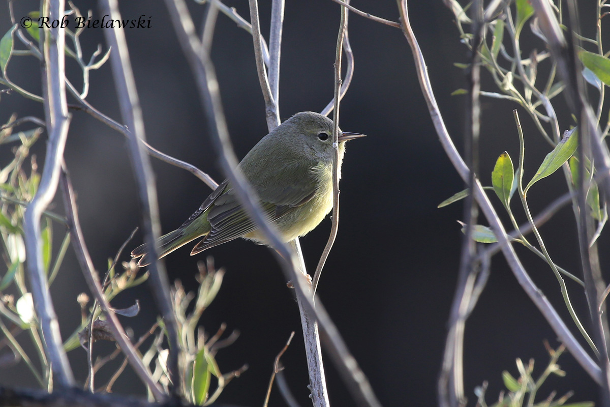 Only my 2nd Orange-crowned Warbler in Virginia, seen along Back Bay's Bay Trail.