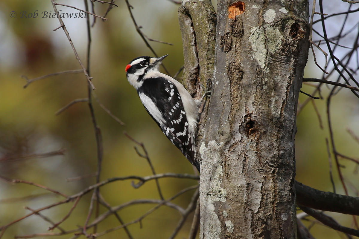 A beautifully colored Downy Woodpecker at First Landing State Park!