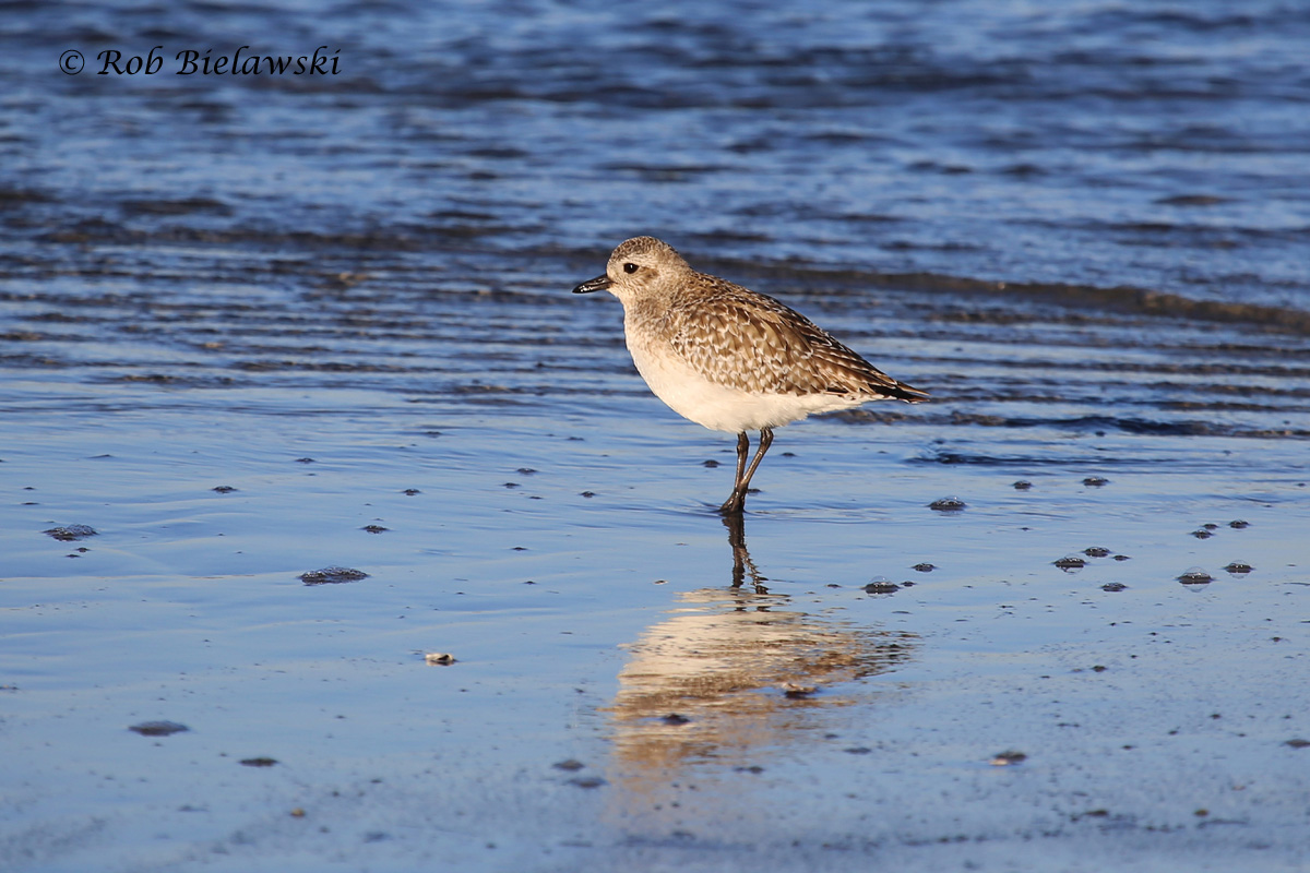 My first Black-bellied Plover of the year, seen at Oregon Inlet on the southeastern cove.