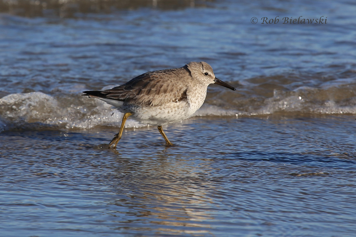 A new Life Bird for me at Oregon Inlet, a Red Knot!