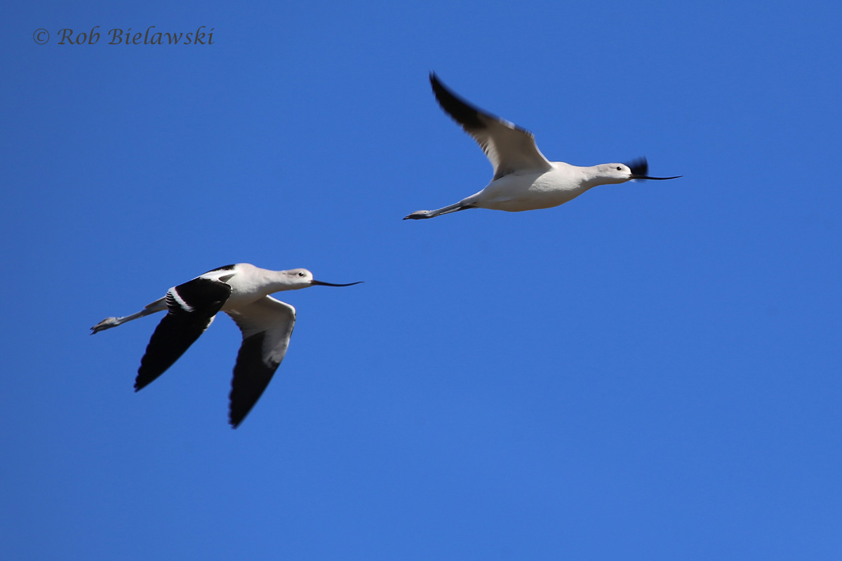 Having only seen these birds in California in the past, these were my first east coast American Avocets!