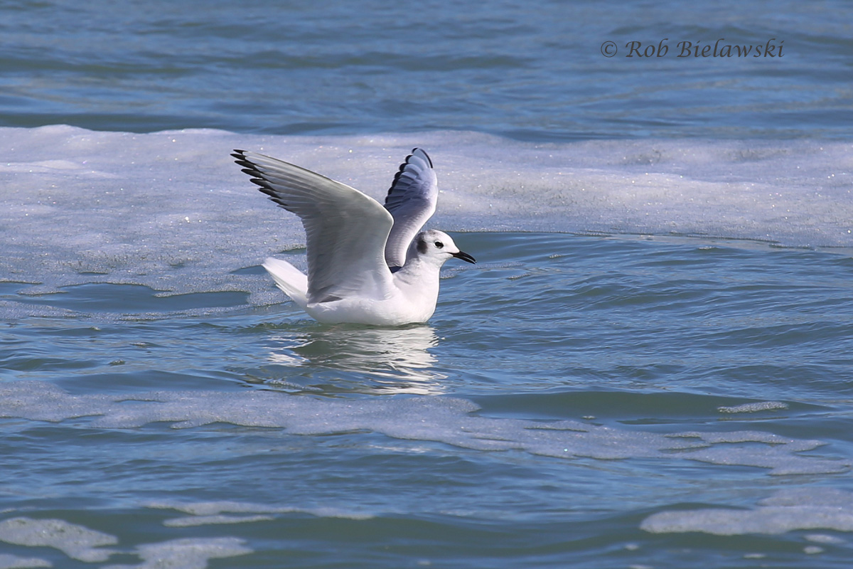 Just one of the many, many Bonaparte's Gulls we saw along the beachfront of Pea Island National Wildlife Refuge!