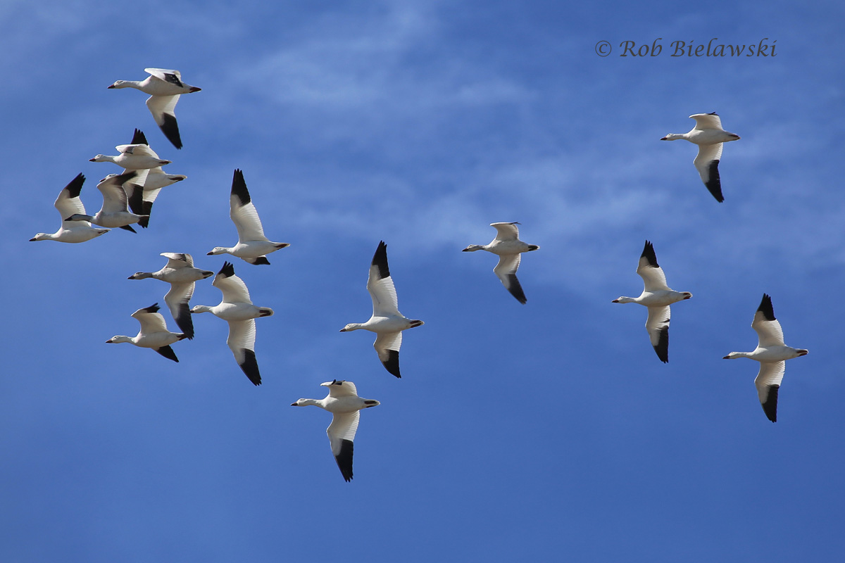 Snow Geese in flight against the beautiful blue sky!