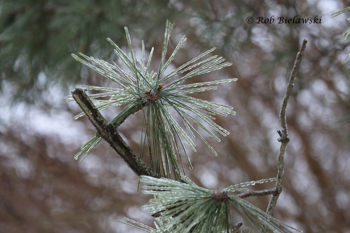 """A layer of freezing rain fell late Monday night after we'd received about 4"""" of snow, encasing all the trees in ice."""