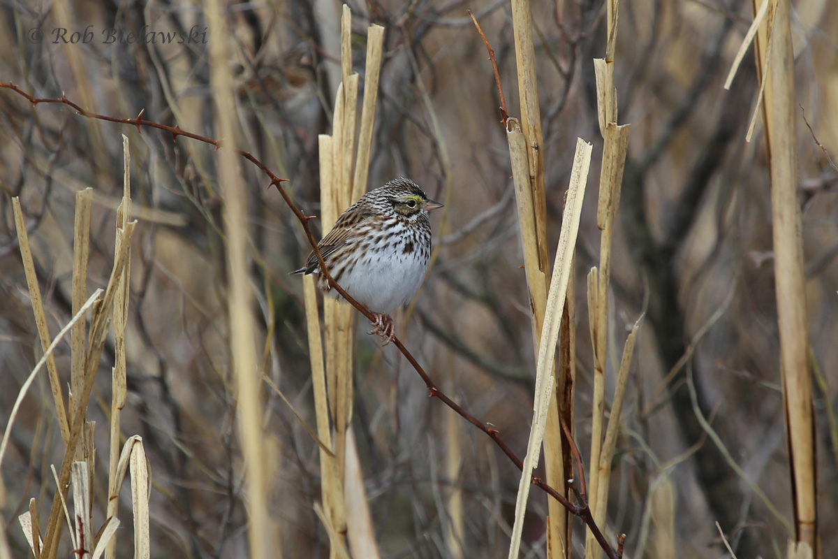 One of the 4 species of sparrows encountered at Back Bay National Wildlife Refuge, the Savannah Sparrow!