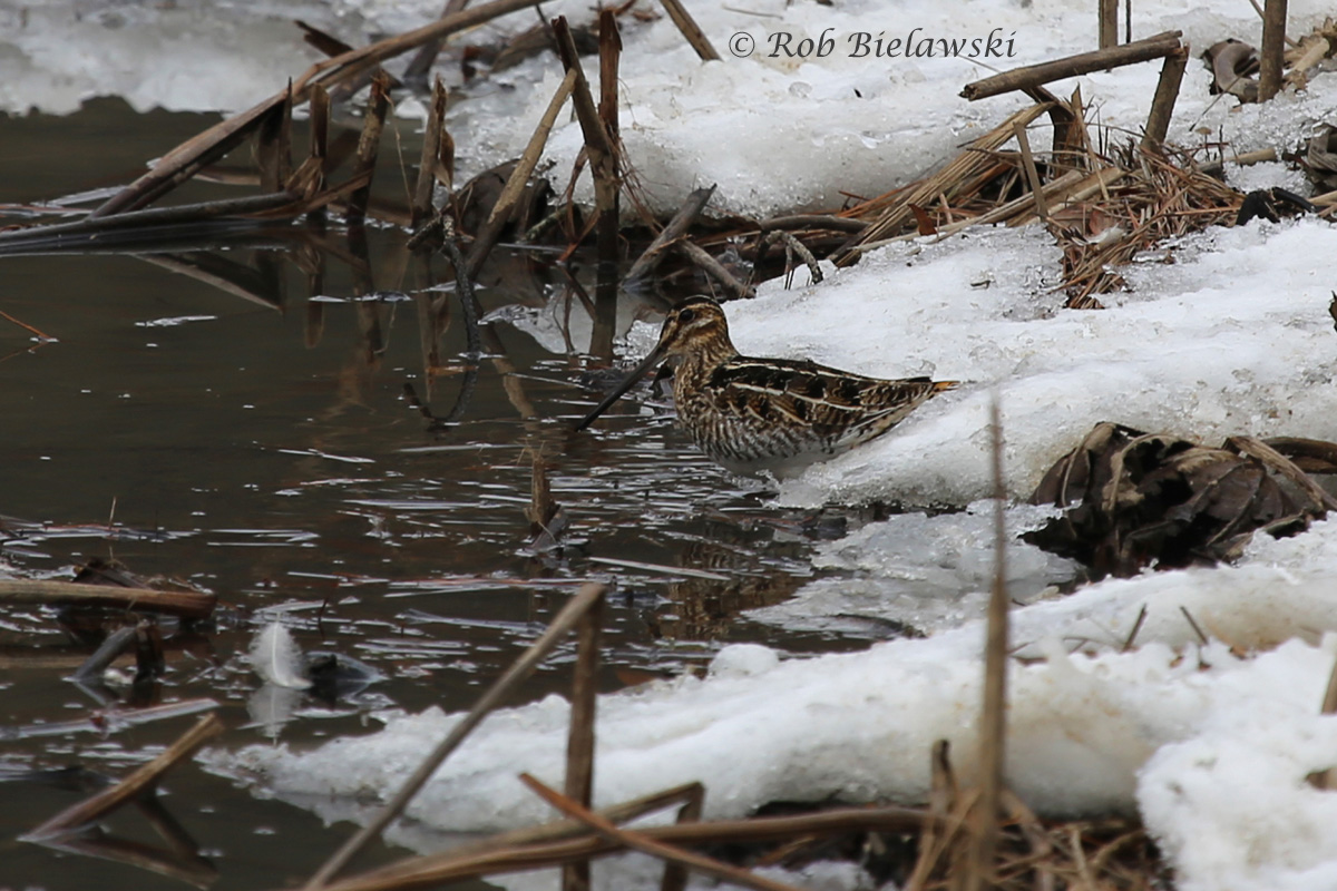 This beautifully camouflaged bird, with its massive bill, is a Wilson's Snipe, and this is the first time I've ever been able to photograph one with any clarity before spooking them!