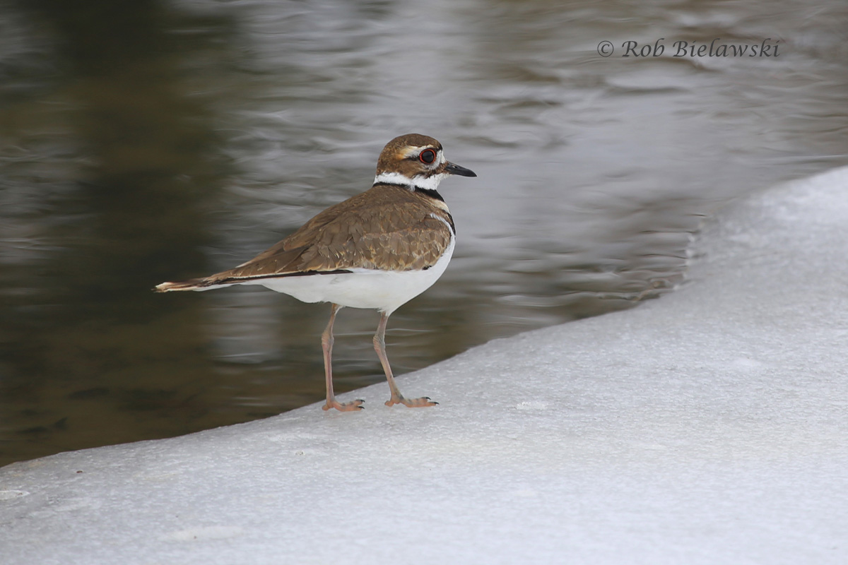 A Killdeer along the icy edge of a free flowing ditch near the Lotus Gardens in Virginia Beach, one of few spots with any open water.