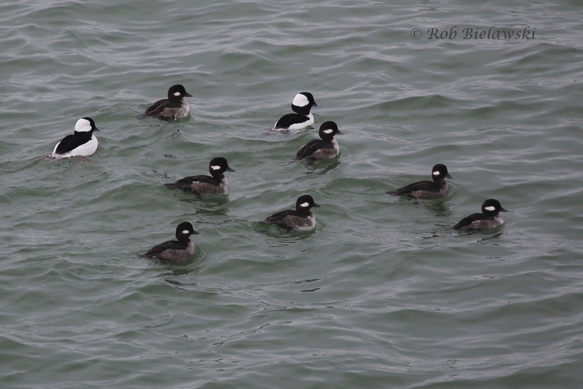 One fraction of the larger group of Buffleheads seen off South Thimble Island on Sunday afternoon during a break in the fog!