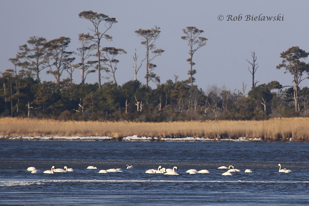 Tundra Swans were finally sitting on open water of Back Bay thanks to the strong northerly winds that prevented ice from forming.