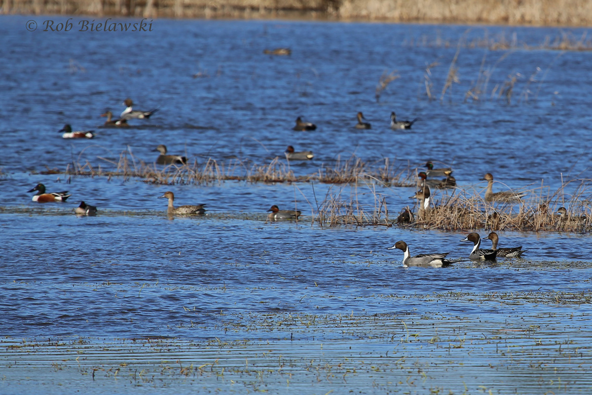 Northern Pintails, Northern Shovelers, Green-wing Teal & Gadwall