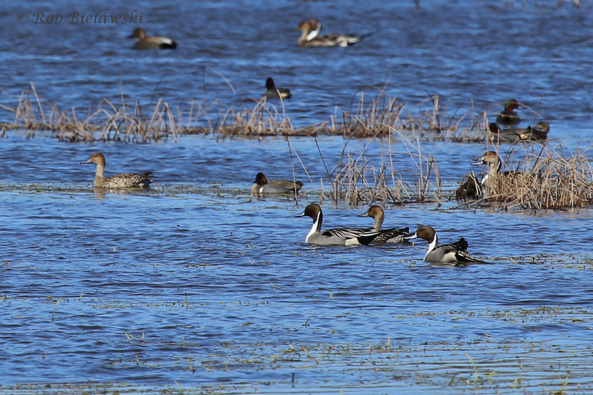 Northern Pintails, Green-wing Teal & Gadwall