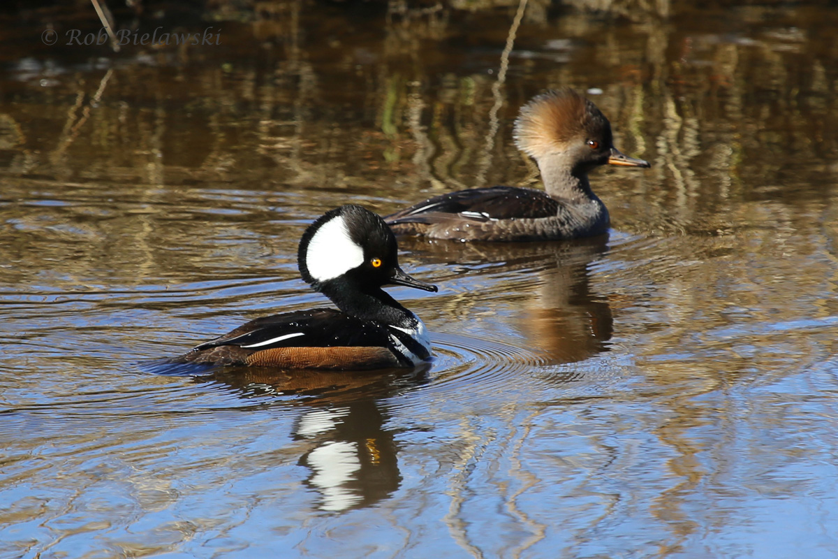 A male & female Hooded Merganser swimming along the tidal waters of White Hill Creek at First Landing State Park!