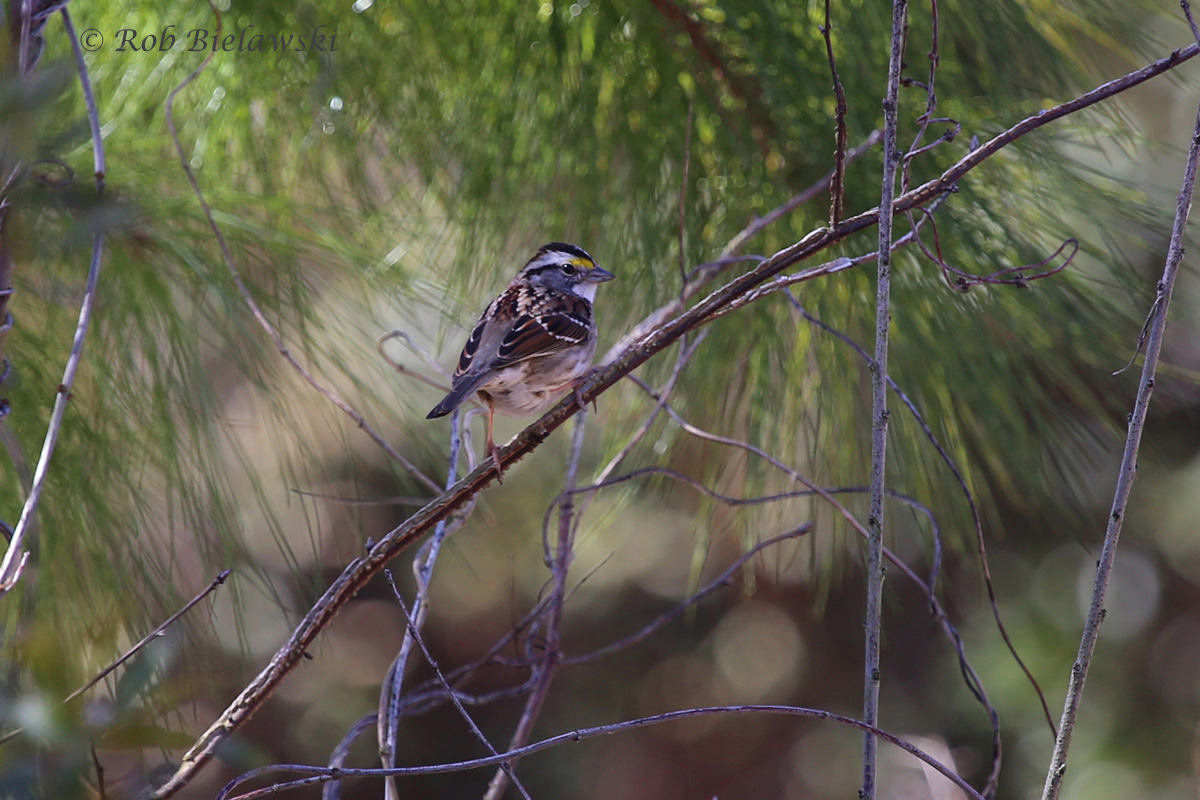 A White-throated Sparrow seen at Princess Anne Wildlife Managment Area on Sunday morning!
