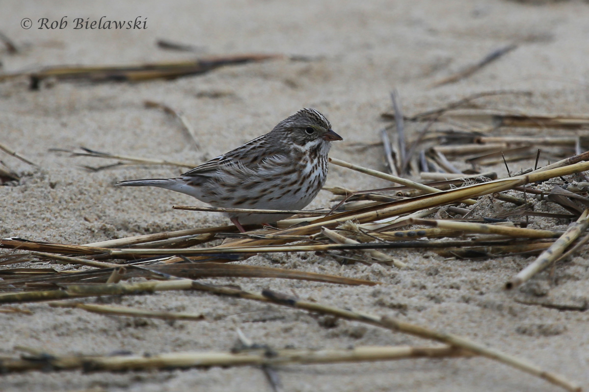 """My first Virginia Beach """"Ipswich"""" Sparrow, the very white subspecies of Savannah Sparrow that inhabits beaches & dunes!"""