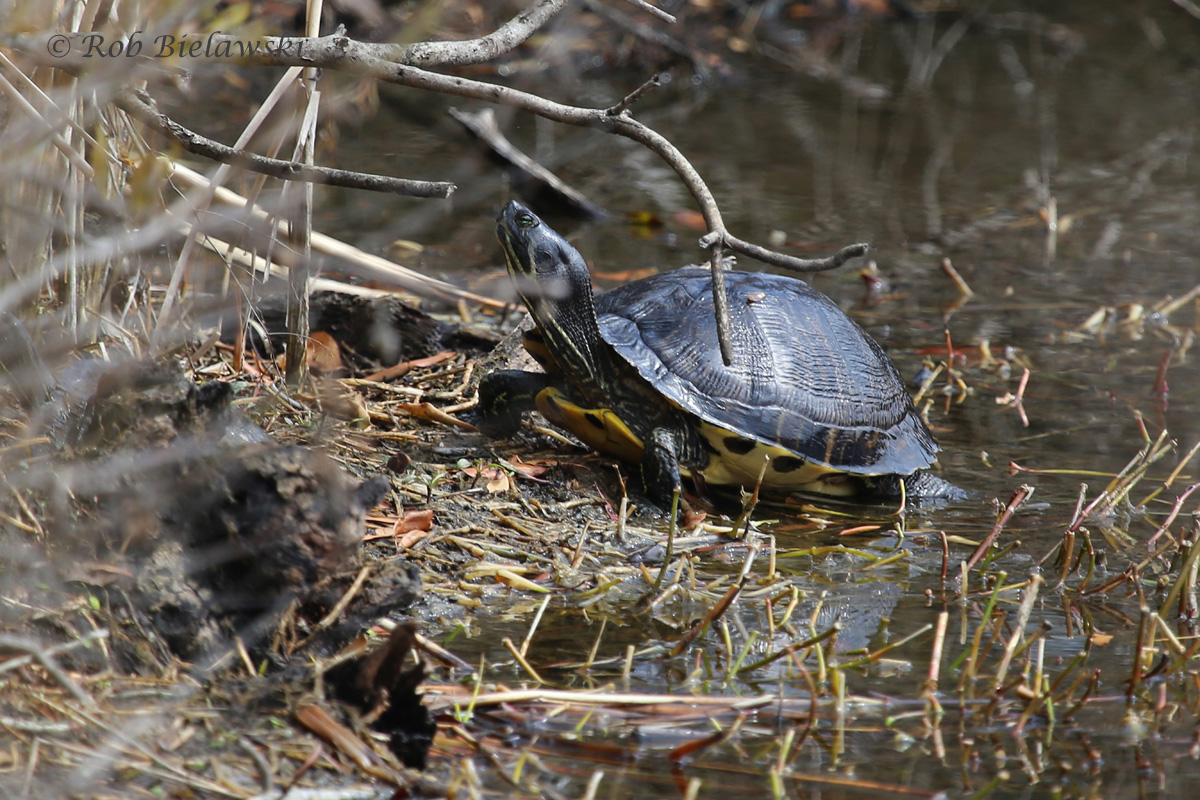 Another common sign of Spring in southeastern Virginia, the Yellow-bellied Slider!