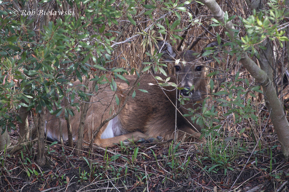 A very lucky catch this time, as this White-tailed Deer was silently watching me from thick cover across a freshwater ditch at Princess Anne WMA!