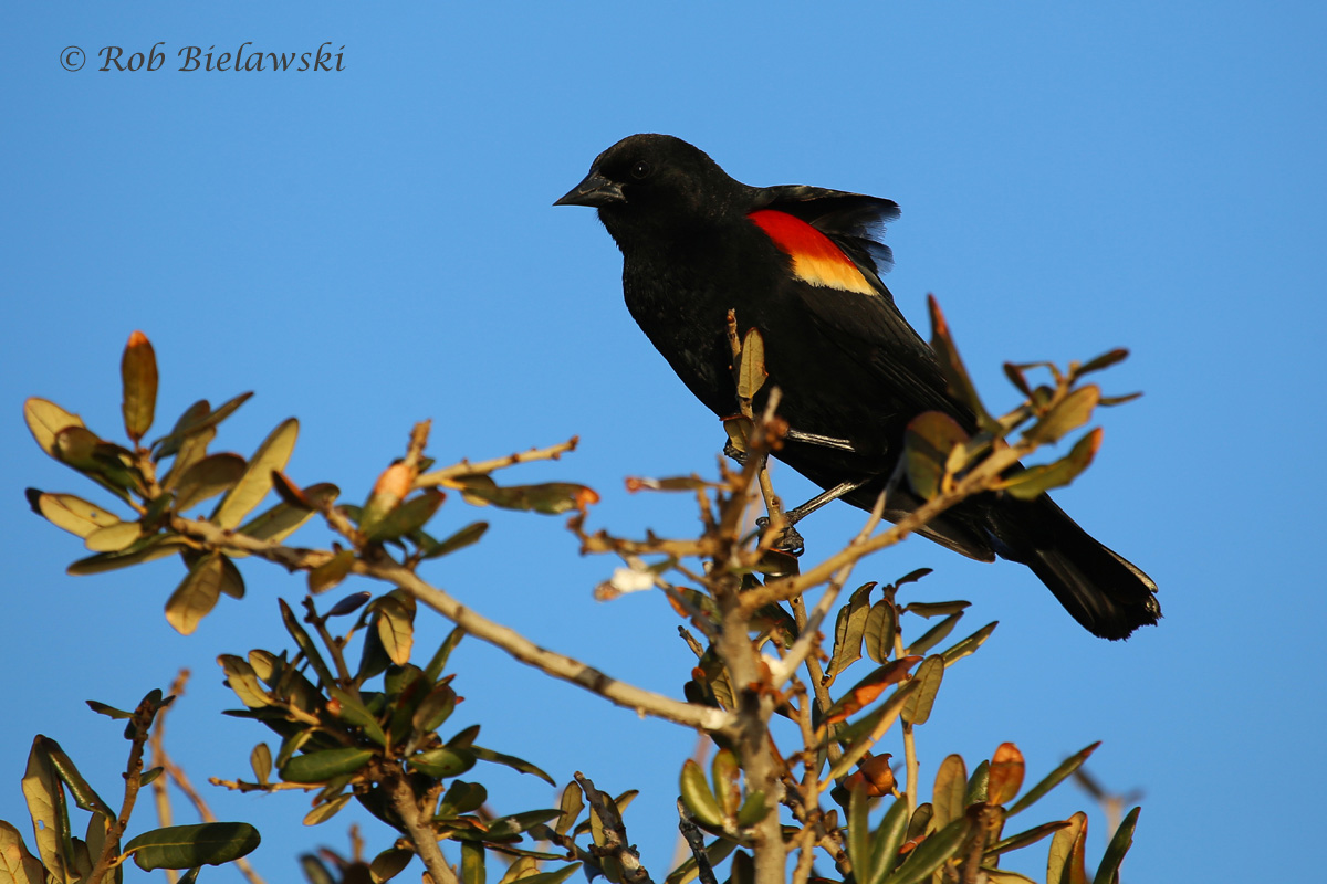 Red-winged Blackbirds are singing now that springtime has begun!