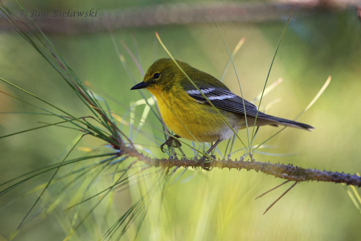 Pine Warblers, our year-round warbler, are out in larger number now, and more easily seen since it is their breeding season!