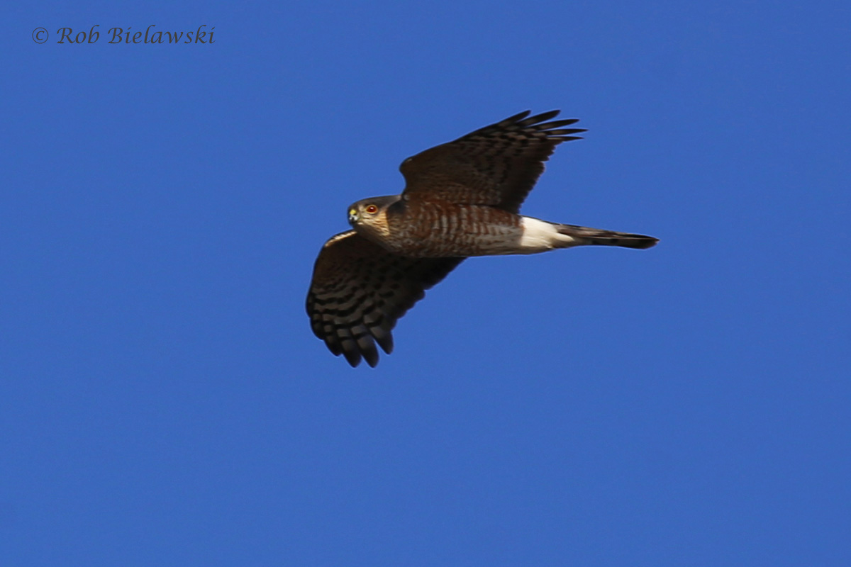 A beautiful adult Sharp-shinned Hawk flies over Pleasure House Point!