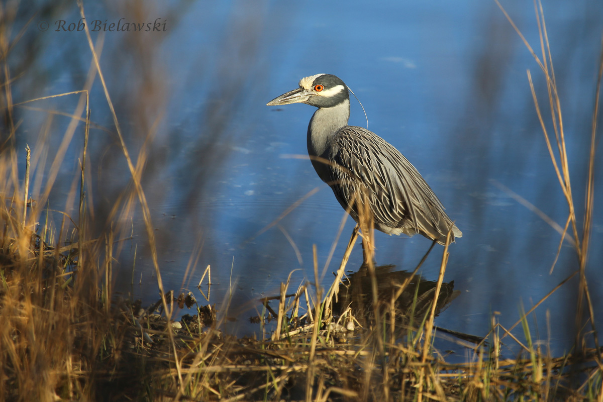 The first Yellow-crowned Night-Heron to be seen at Pleasure House Point this year, they have returned!