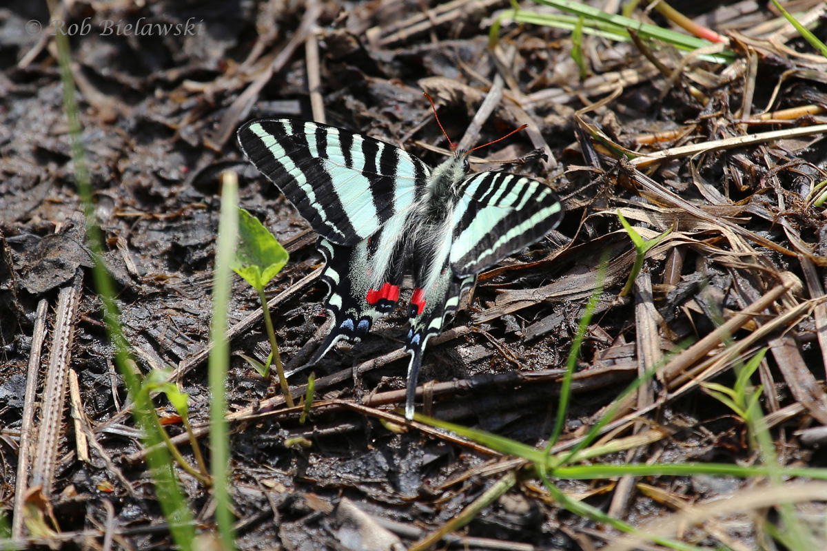One of the first butterflies I've seen this springtime, this is a Zebra Swallowtail, photographed at Great Dismal Swamp NWR in Suffolk!