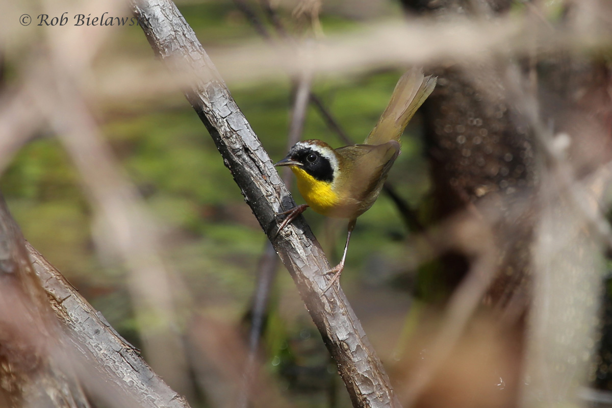 My first Common Yellowthroat of the season!