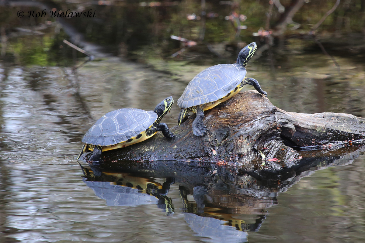 Yellow-bellied Sliders are now numerous along the ditches at Great Dismal Swamp NWR!
