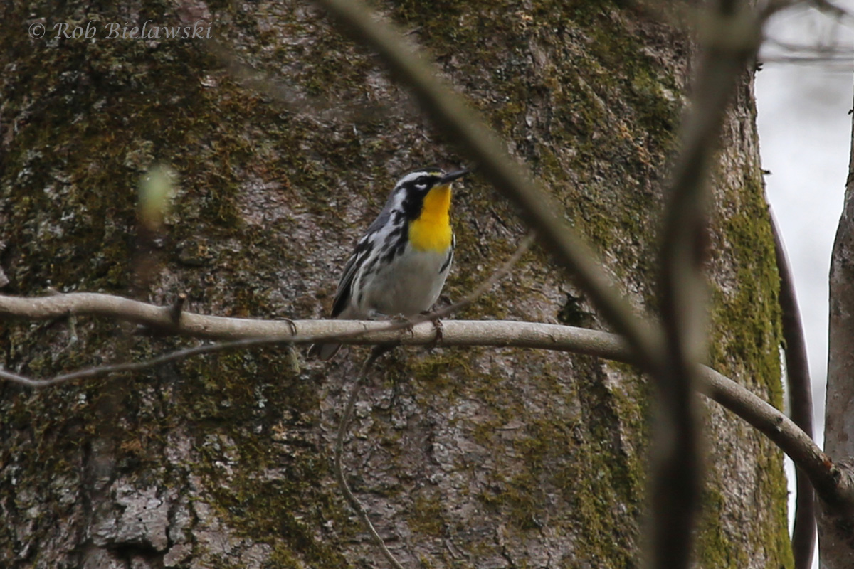 A new life bird for me, a beautiful male Yellow-throated Warbler, seen high in the canope above the Washington Ditch Trail at Great Dismal Swamp NWR!