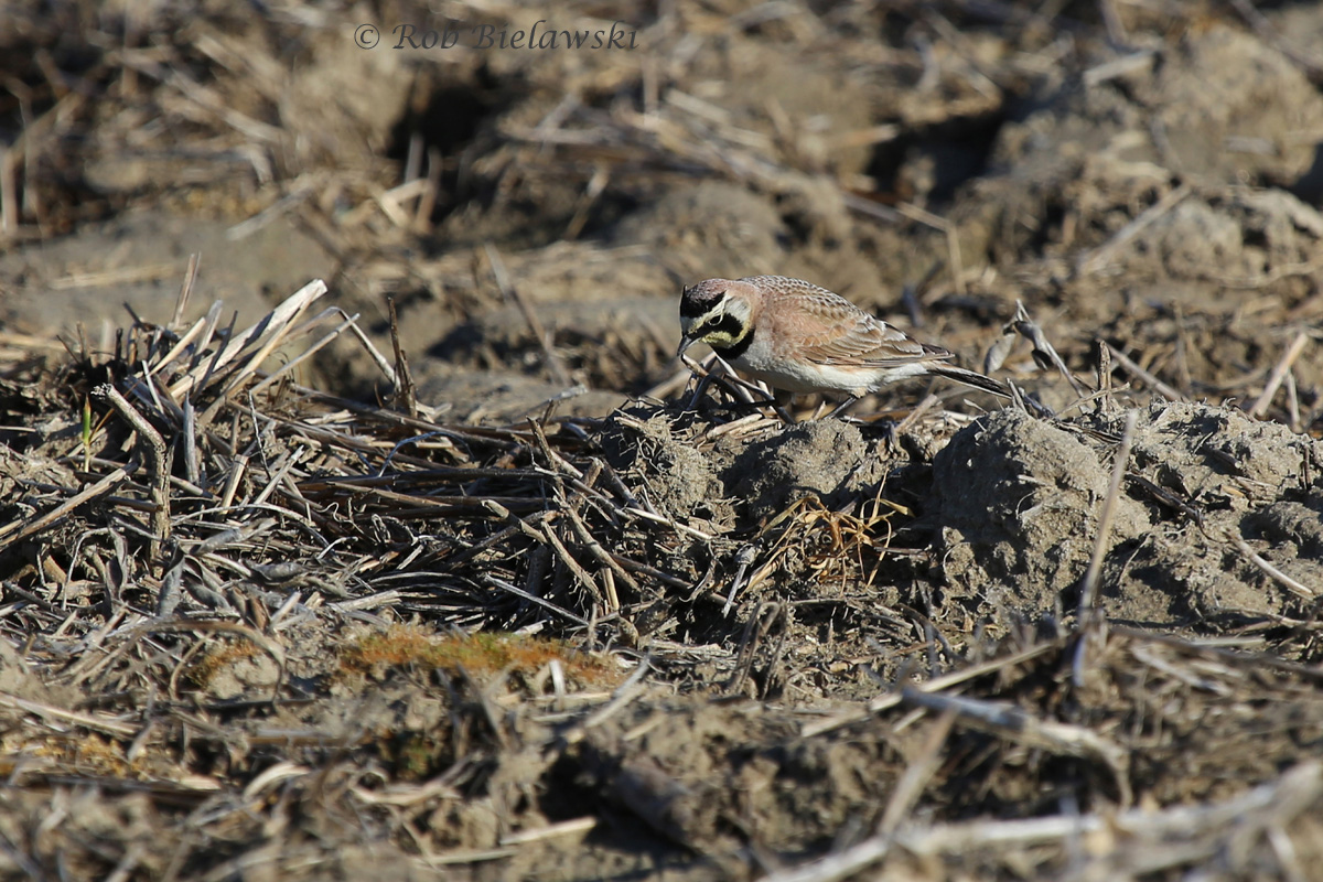 Second life bird on the week, this beautiful Horned Lark was seen on a farmfield outside of Princess Anne Wildlife Management Area!
