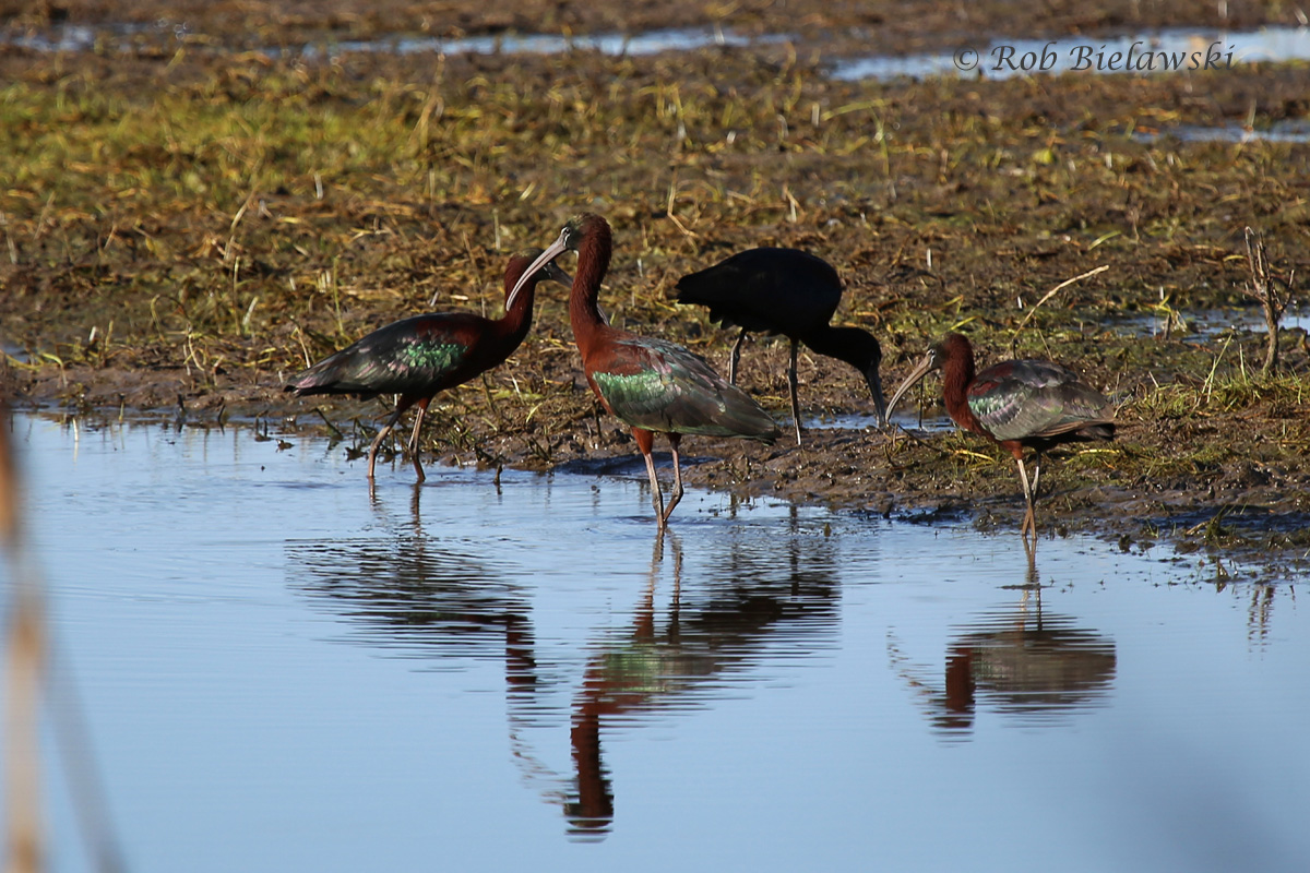 Another first-of-year bird, these Glossy Ibis were mixed in with a group of Great & Snowy Egrets at Princess Anne WMA!
