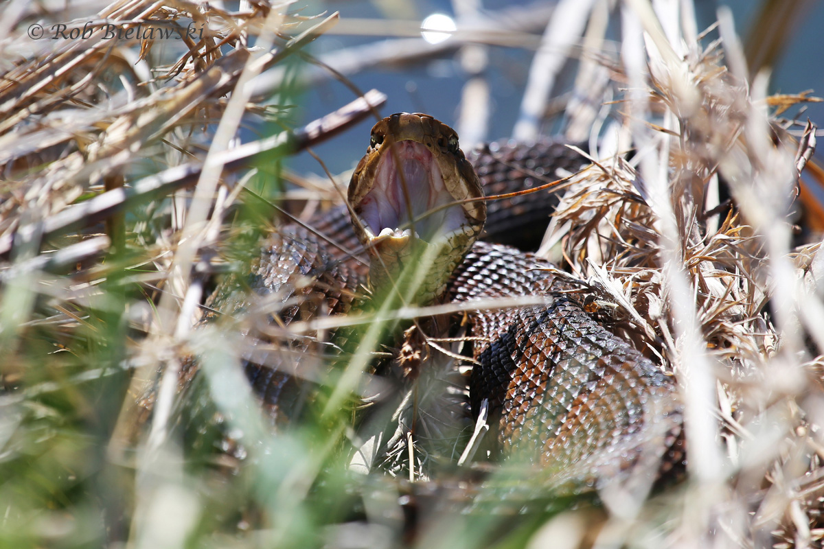 First Eastern Cottonmouth of the year, photographed at Back Bay NWR! Note: I was about 20-25 feet away from this snake, and was not antagonizing it. It gaped its mouth open just to let me know not to come any closer.