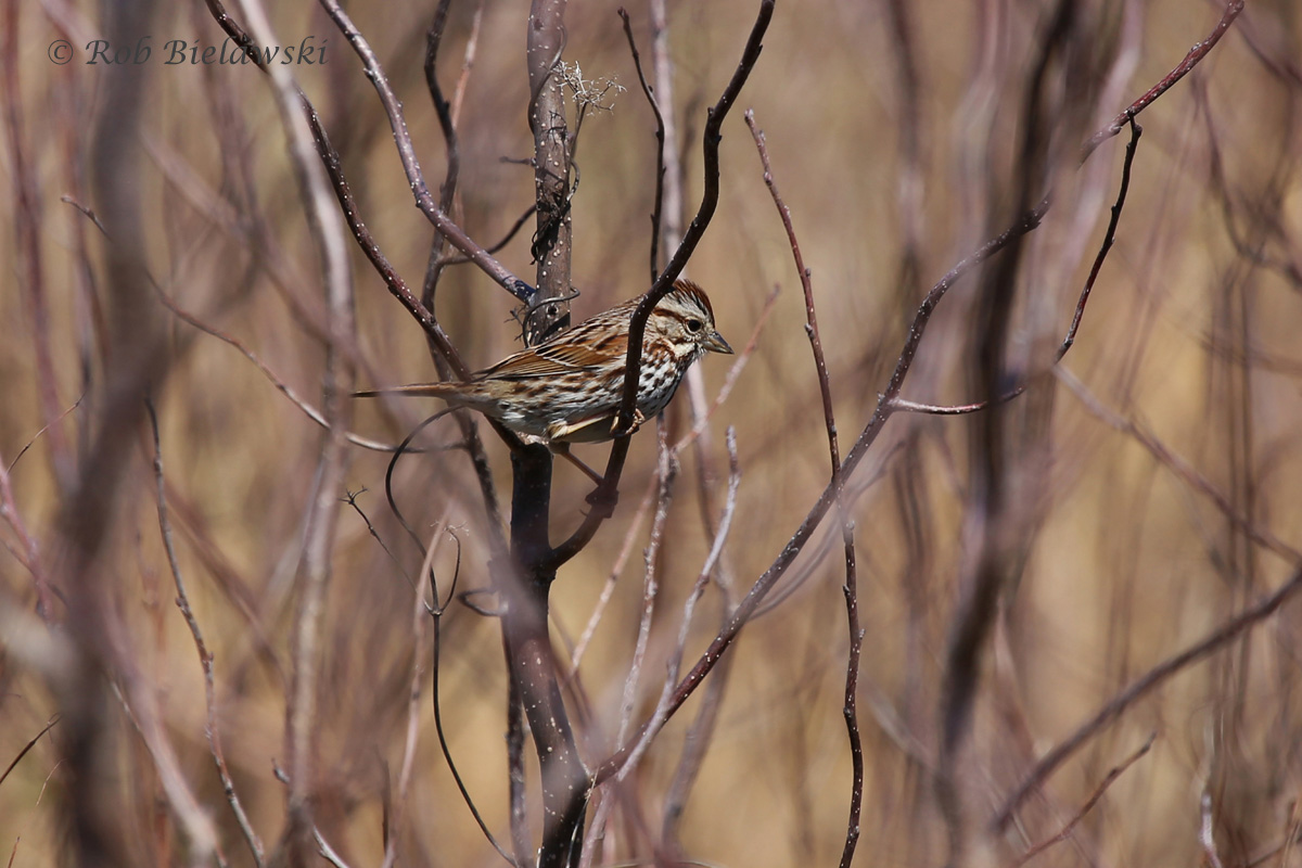 A Song Sparrow jumps from branch to branch in the shrubs outside the Back Bay NWR visitor's center!
