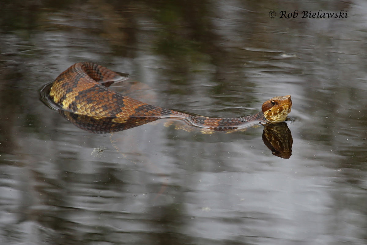 With warm weather arriving this week, plenty of Cottonmouths were out and about at Back Bay NWR!