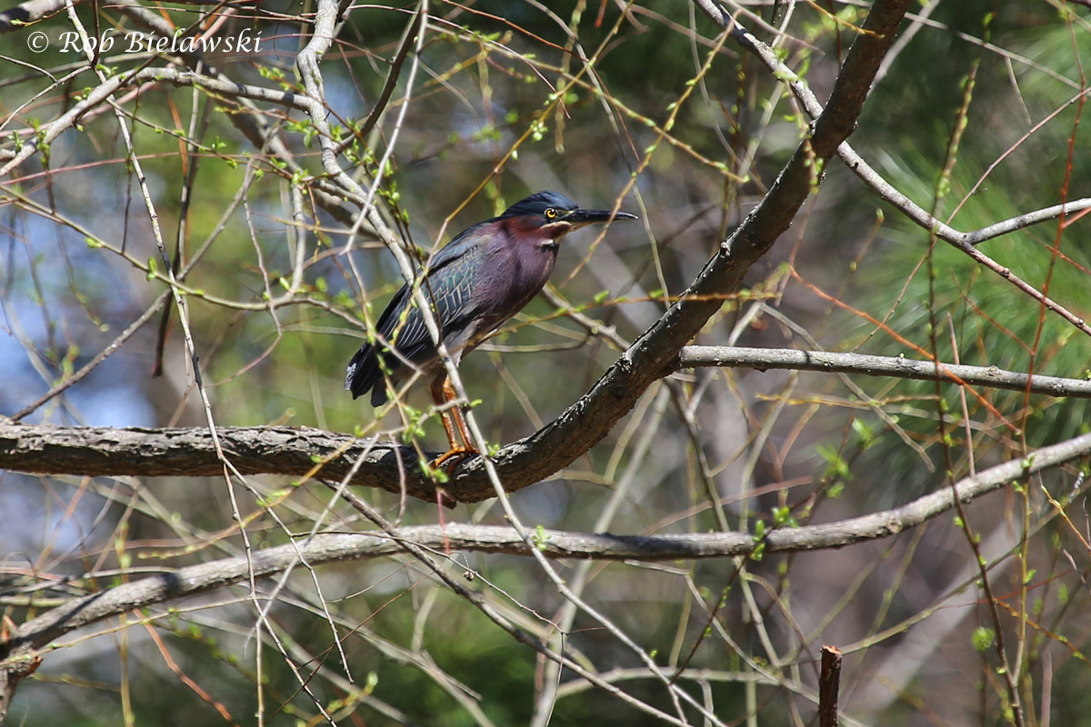 Another first of year bird, a Green Heron seen flushing from a small creek, then landing in this tree to watch from!