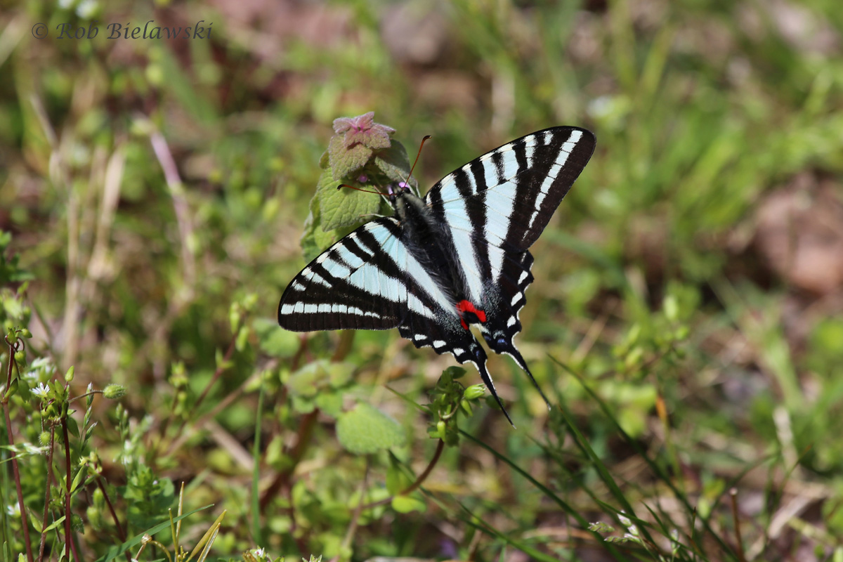The most common butterfly of the Dismal Swamp currently, a beautiful Zebra Swallowtail!