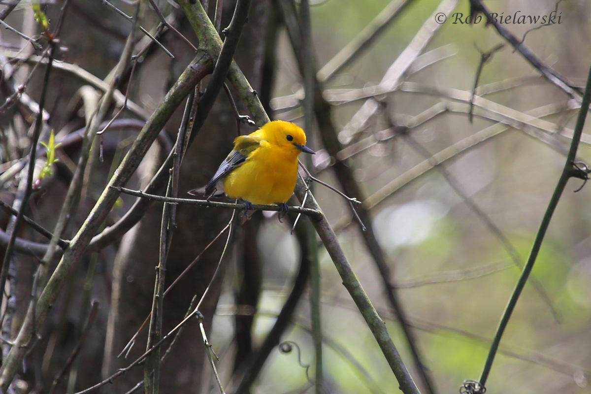 The most common of the spring warblers at the Dismal Swamp, this Prothonotary Warbler nests in tree cavities in marshy areas, making the swamp the perfect habitat!