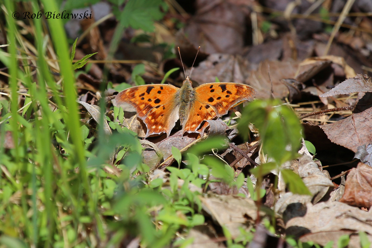 Another species of butterfly common to the Dismal Swamp, this is a Question Mark butterfly!