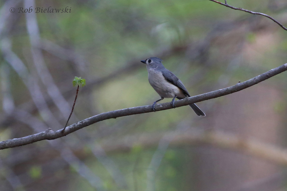 A Tufted Titmouse perched upon a branch at Stumpy Lake Natural Area!