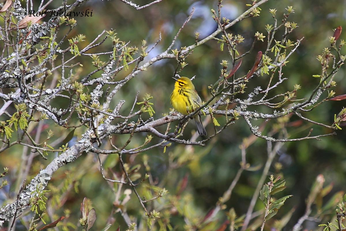 Quite possibly my favorite warbler of the spring & summer here in Virginia Beach, the Prairie Warbler!