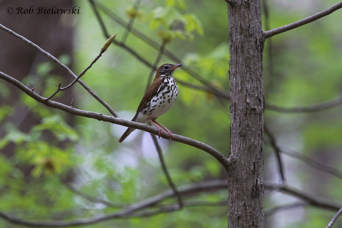 A beautiful Wood Thrush, seen at Stumpy Lake Natural Area on Friday evening. This is the only location in the City of Virginia Beach that I've been able to find this species, and this is by far my best photograph of one to date!