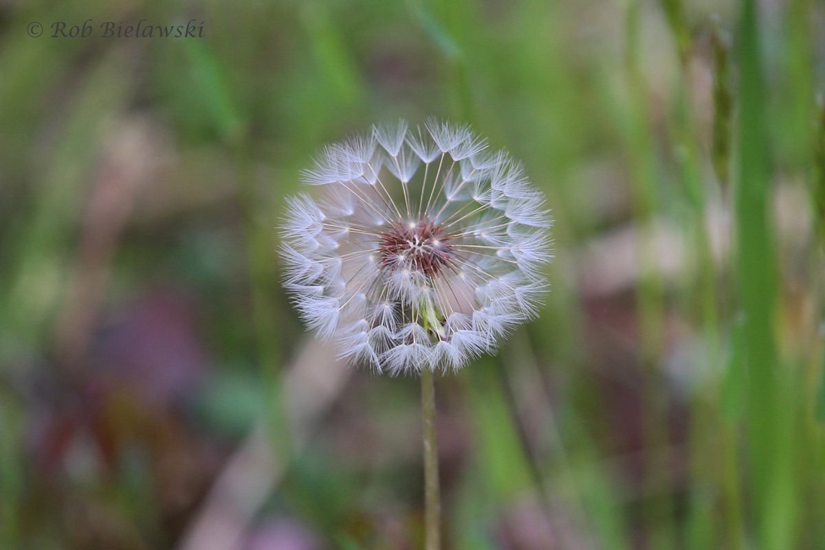 People refer to them often as weeds, but there is something beautiful about our very abundant Dandelions!