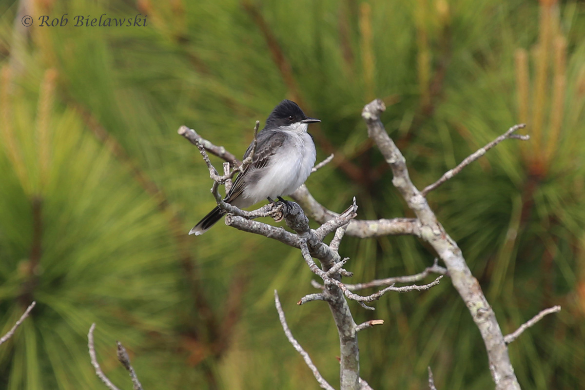 The 140th species of bird I've seen in Virginia Beach this year so far, an Eastern Kingbird!