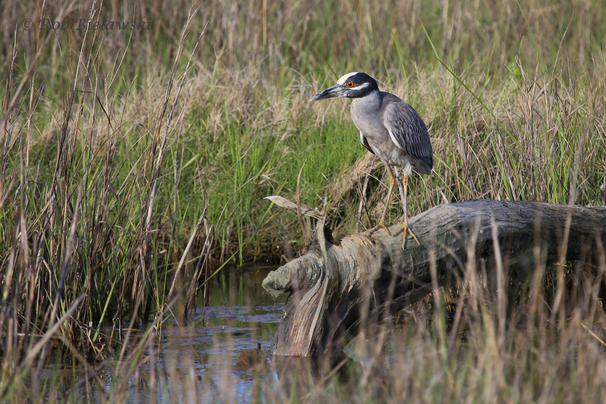 An adult Yellow-crowned Night-Heron searching for its dinner at Pleasure House Point on Wednesday evening!