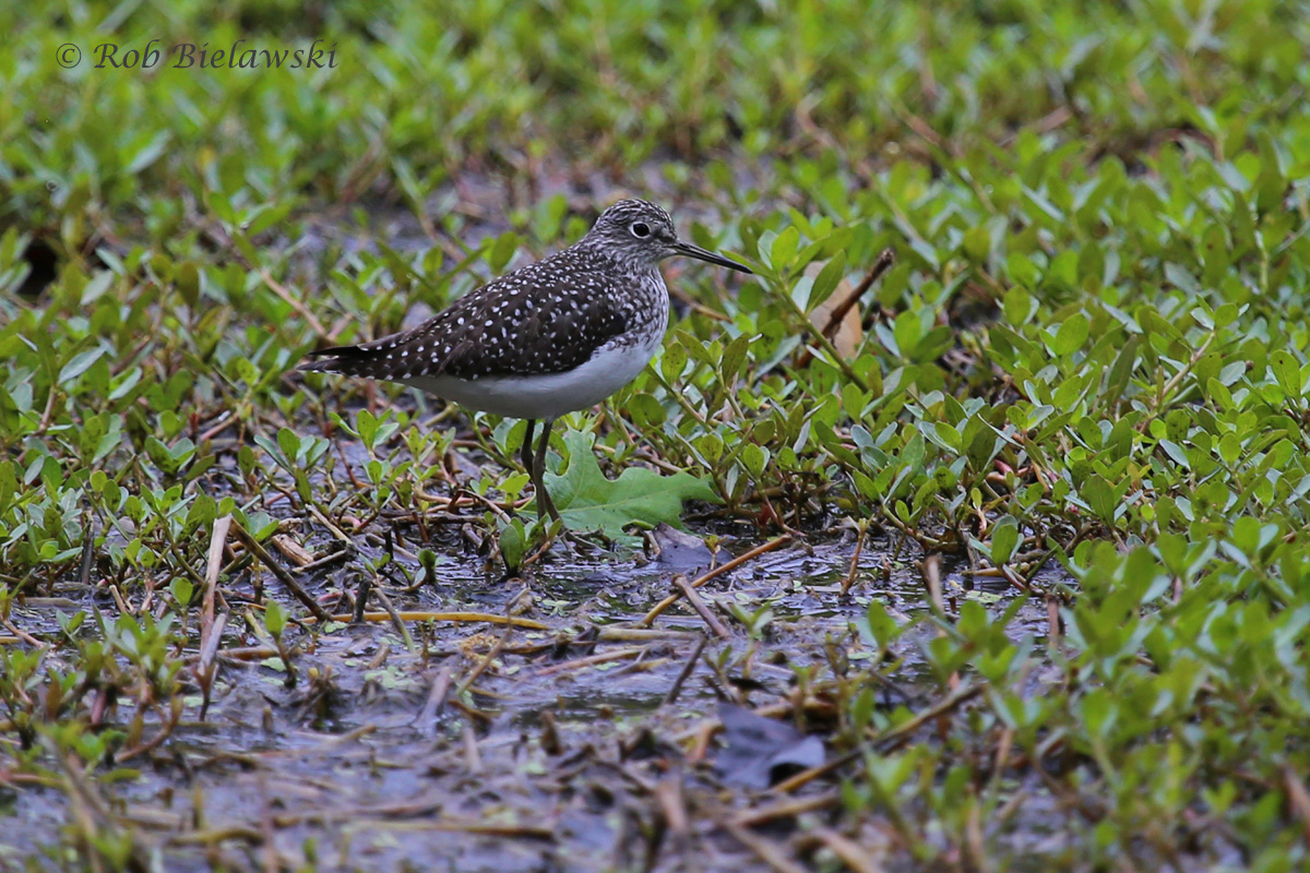 A first-of-year surprise along Kings Grant Road on my evening commute home from work, a Solitary Sandpiper!