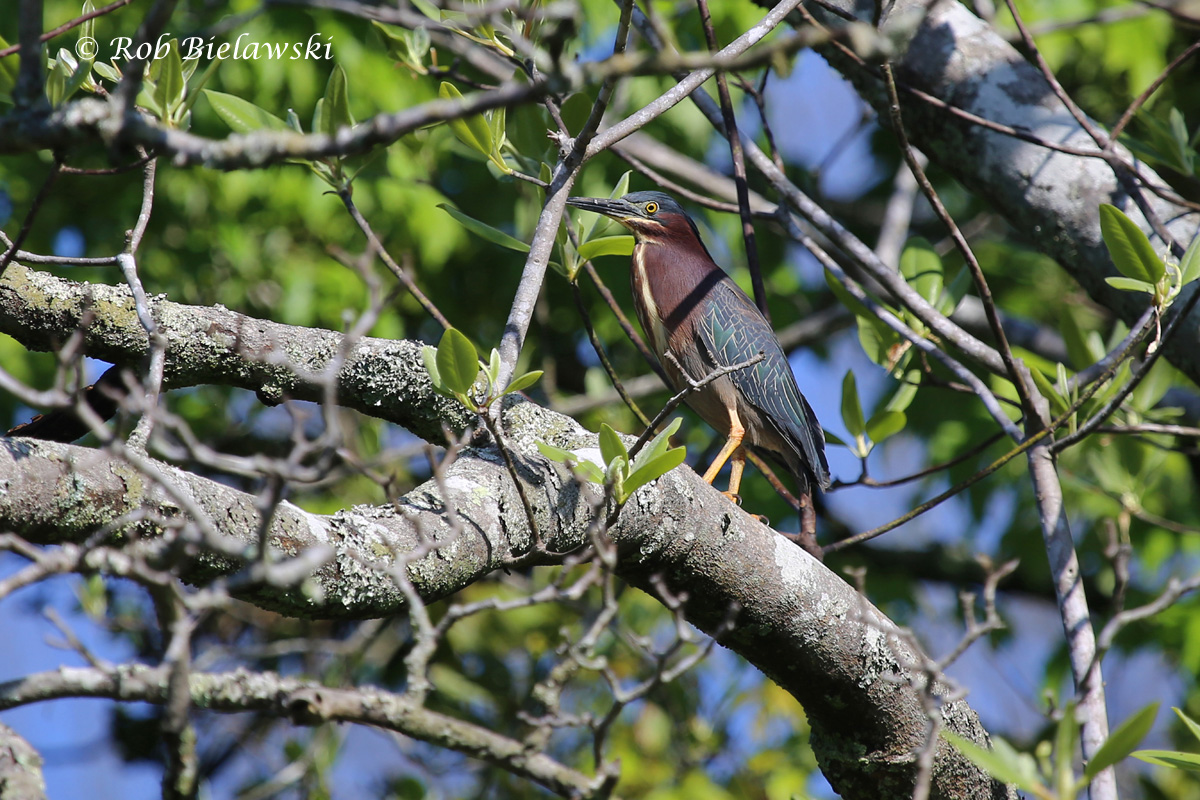Our most colorful heron, and our most reluctant to be photographed under normal circumstances, a beautiful Green Heron!