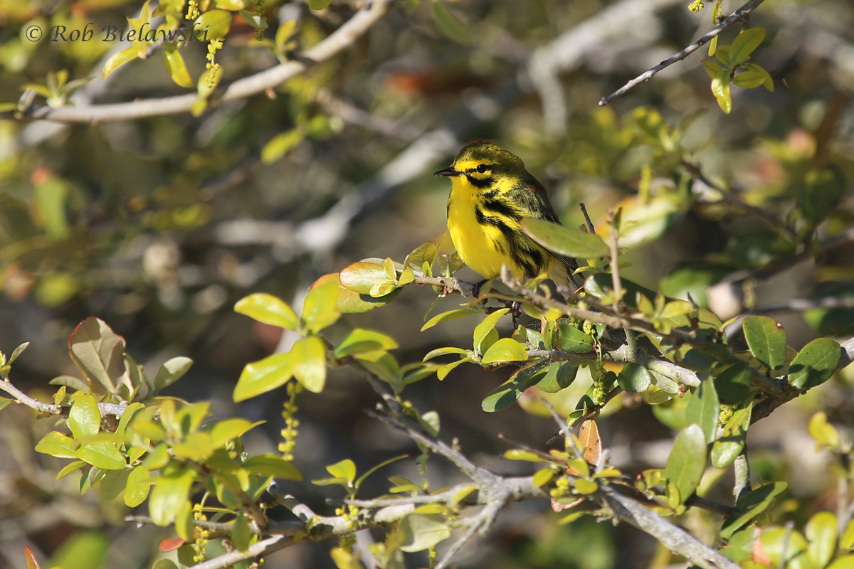 A strikingly patterned Prairie Warbler seen in the thickets along the Loop Road at Back Bay NWR!