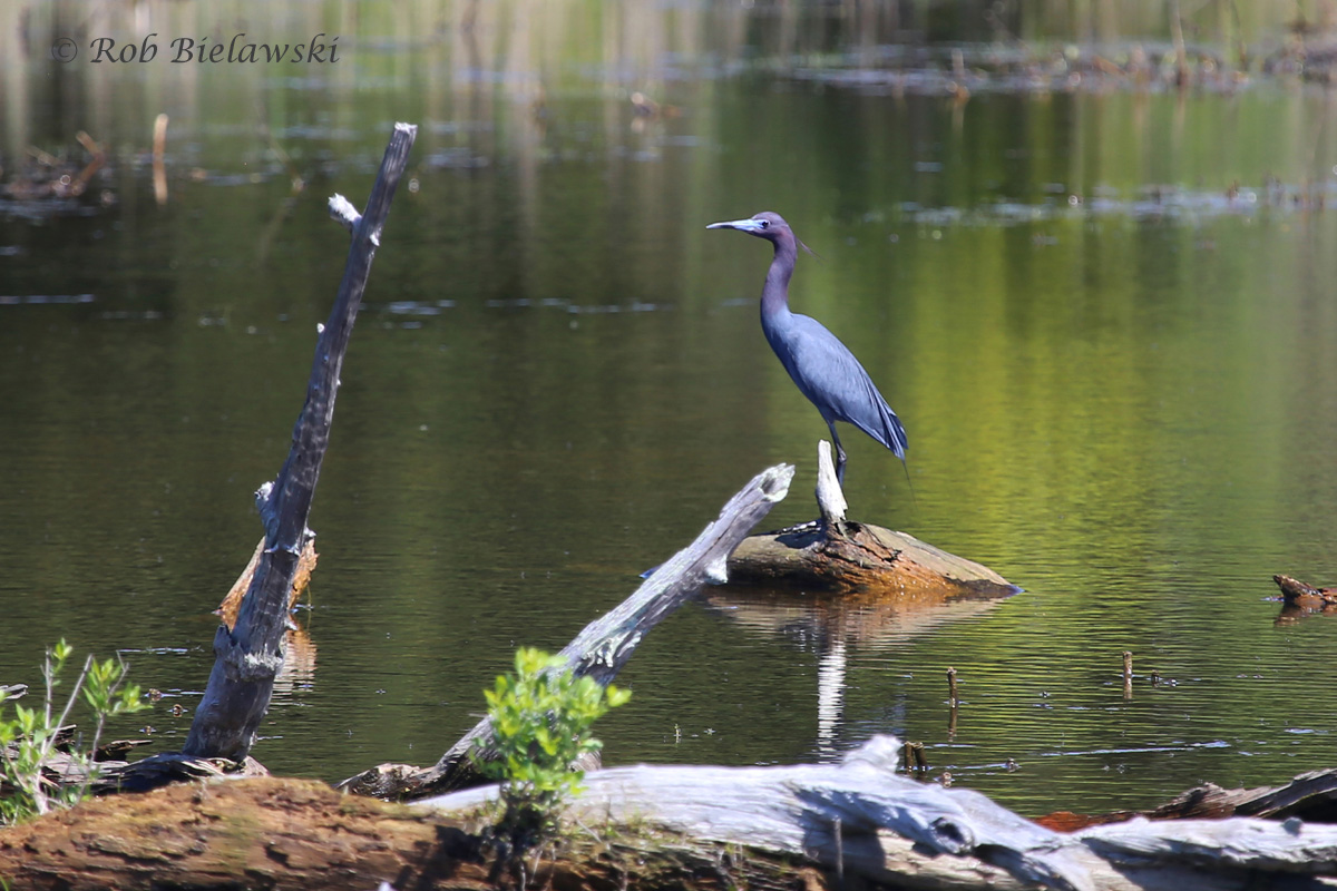 Another vibrantly colored heron species, the Little Blue Heron, seen at Princess Anne Wildlife Management Area on Sunday!