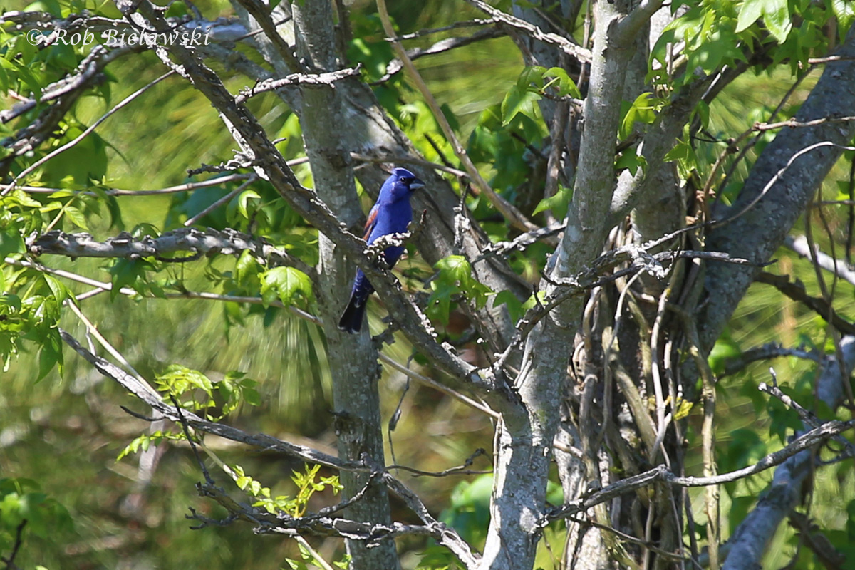Another first-of-year bird, the striking Blue Grosbeak male, seen at Princess Anne WMA on Sunday!