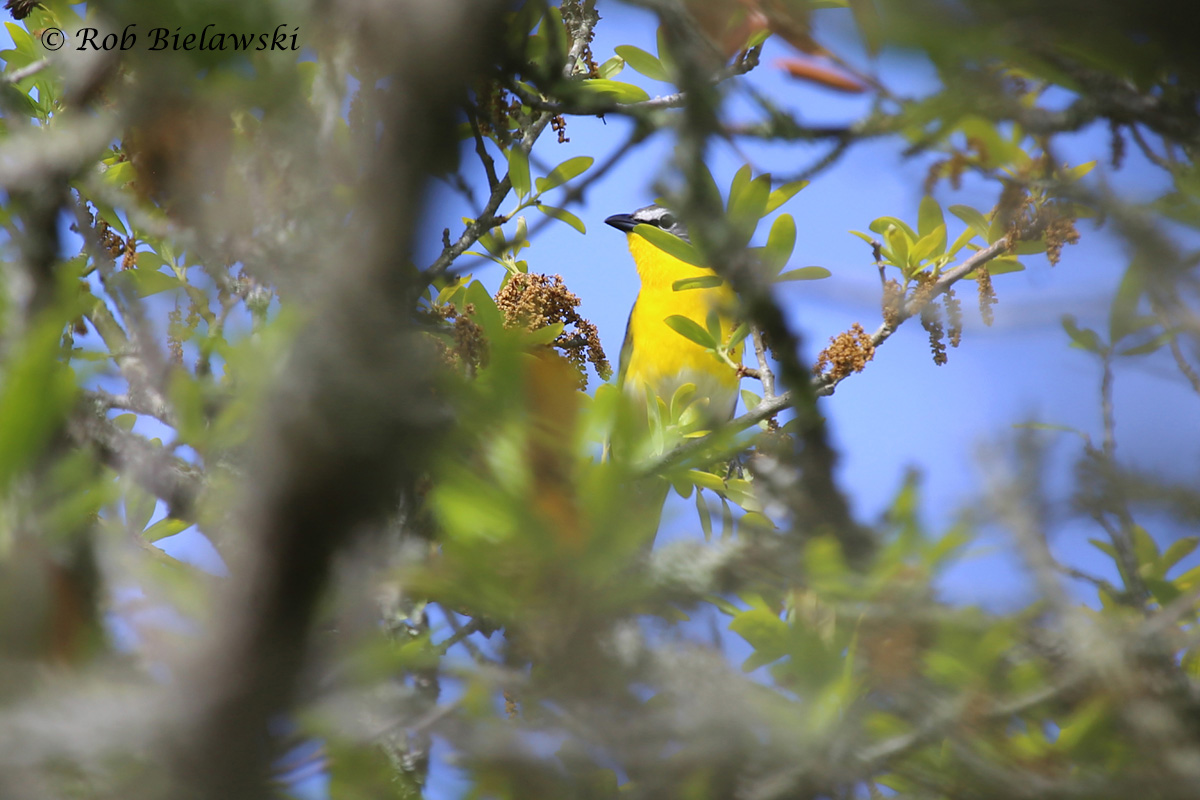 A new life bird, the Yellow-breasted Chat, seen here obscured by the dense foliage that it prefers to hide amongst!